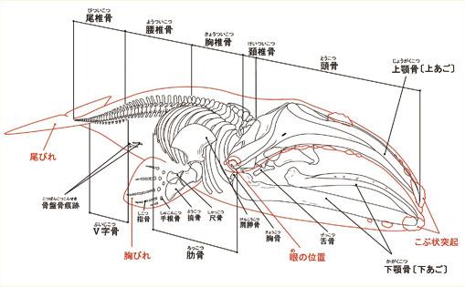 セミクジラの画像 p1_10